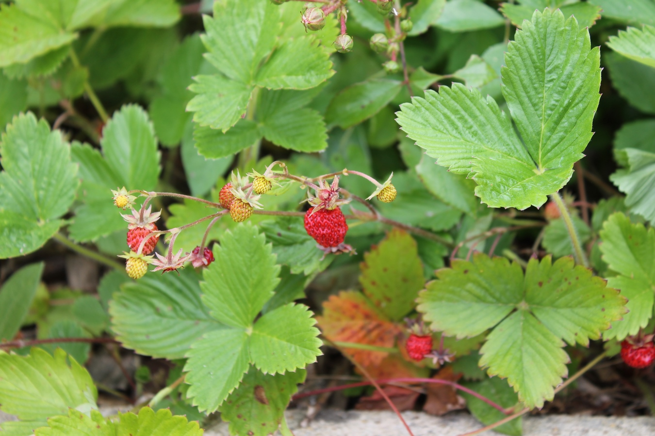 fraises-des-bois