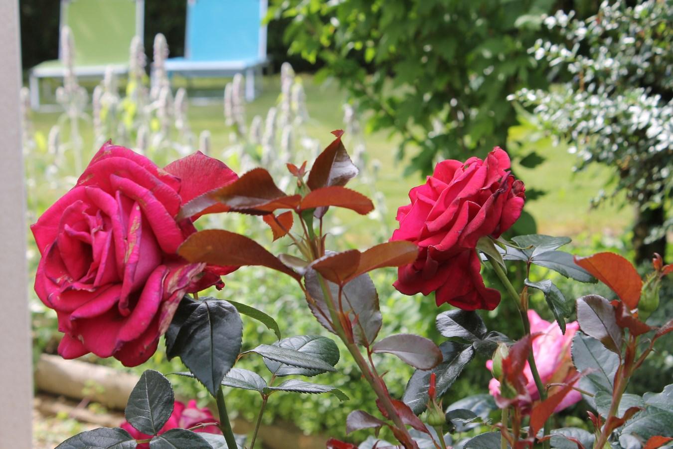 massif-de-roses